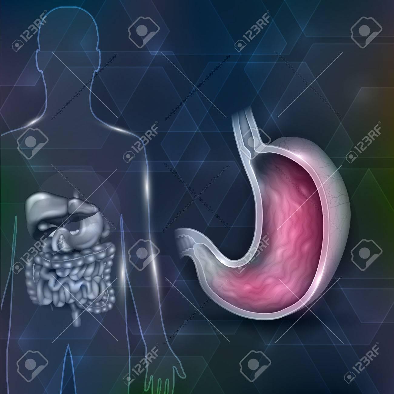 Anatomía De La Sección Transversal Del Estómago Y Los órganos ...