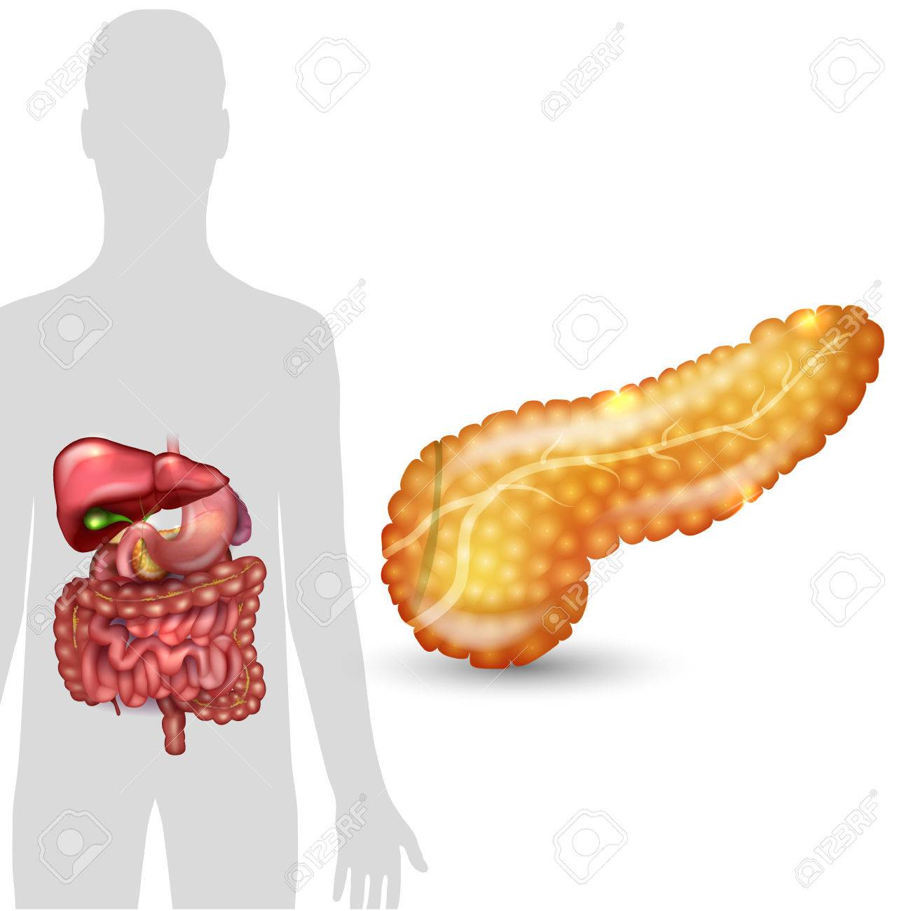 Pancreas Anatomy And Human Silhouette With Internal Organs ...