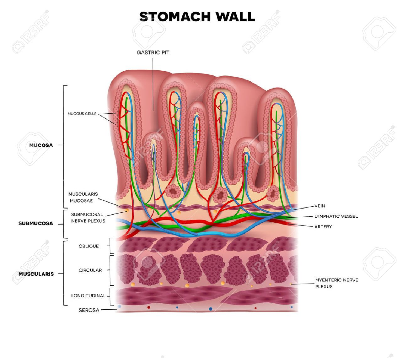 Stomach Wall Layers Detailed Anatomy, Beautiful Colorful Drawing ...