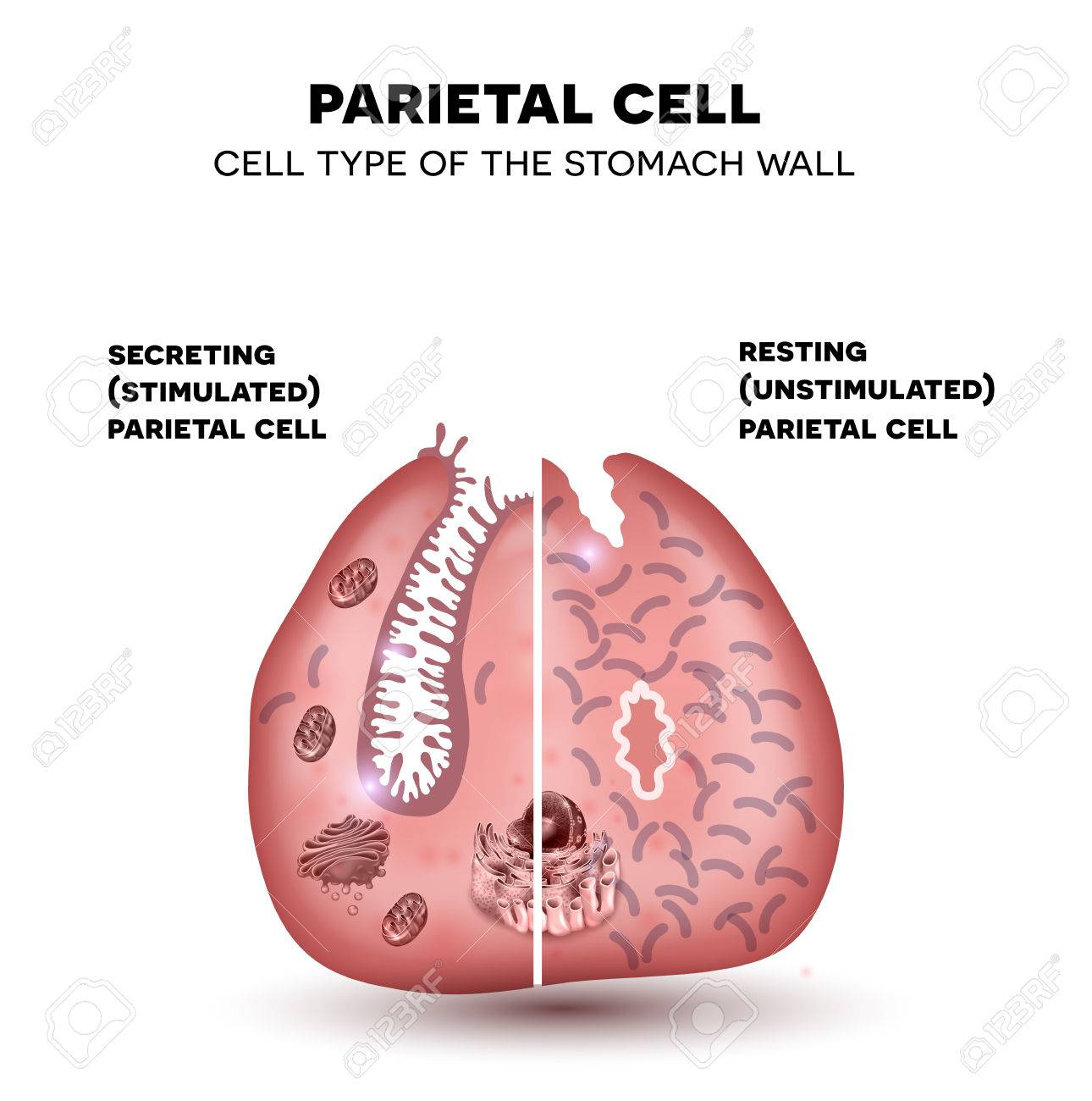 Parietal cell of the stomach wall located in the gastric glands parietal cell of the stomach wall located in the gastric glands secretes hydrochloric acid ccuart Gallery
