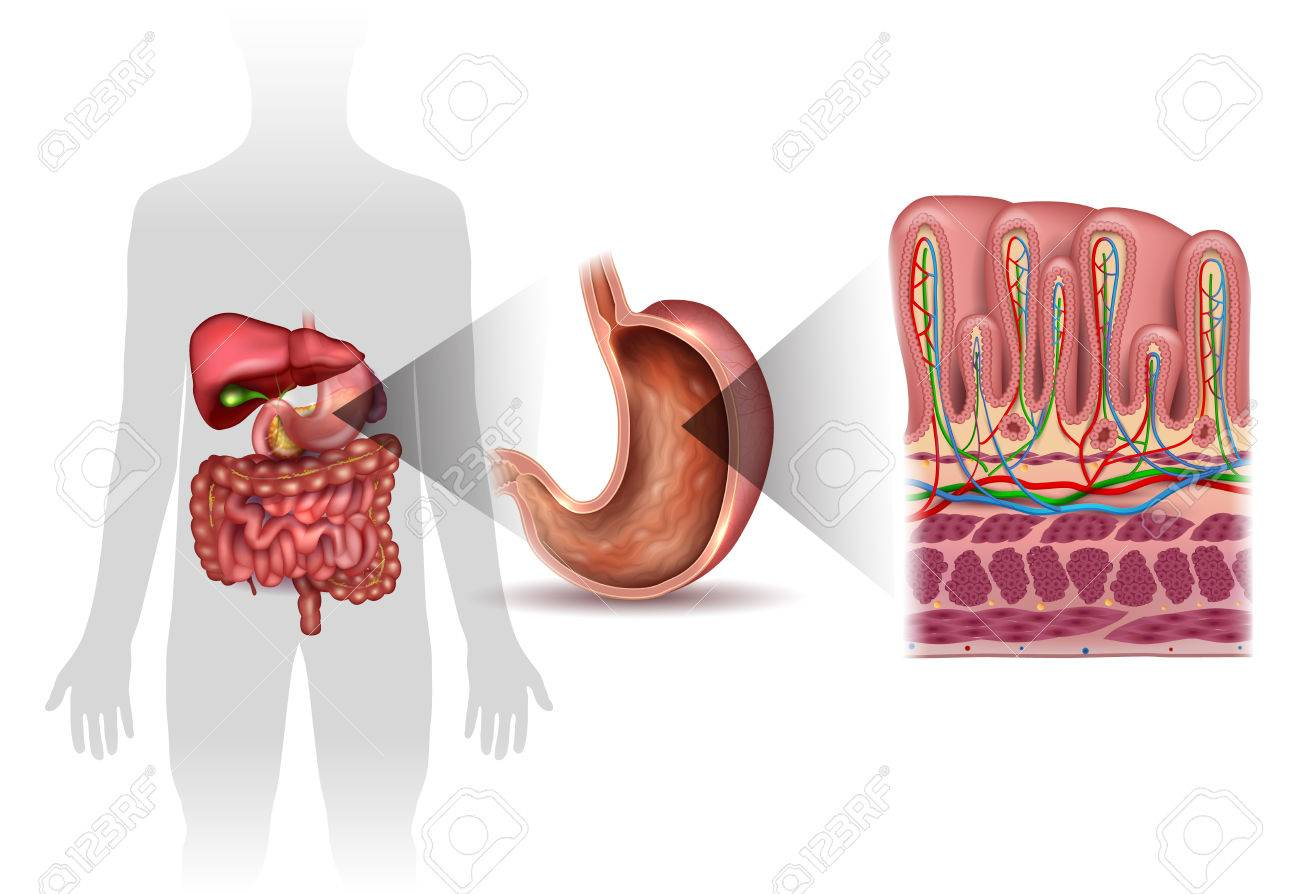 Stomach Wall Layers Detailed Anatomy, And Human Silhouette With ...