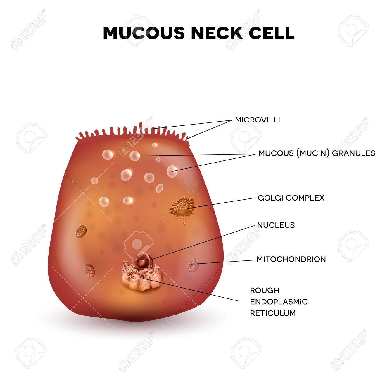 Mucous neck cell of the stomach wall beautiful colorful drawing mucous neck cell of the stomach wall beautiful colorful drawing on a white background stock ccuart Gallery