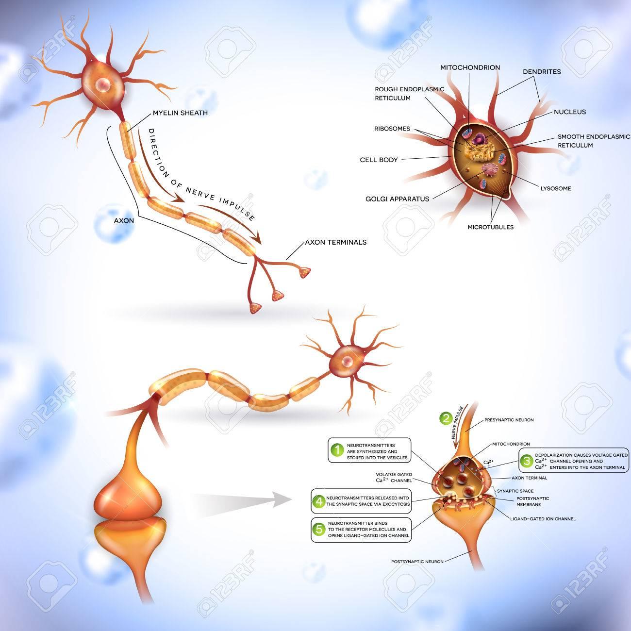 Neurona, Célula Nerviosa, Cerca De Las Ilustraciones Conjunto ...