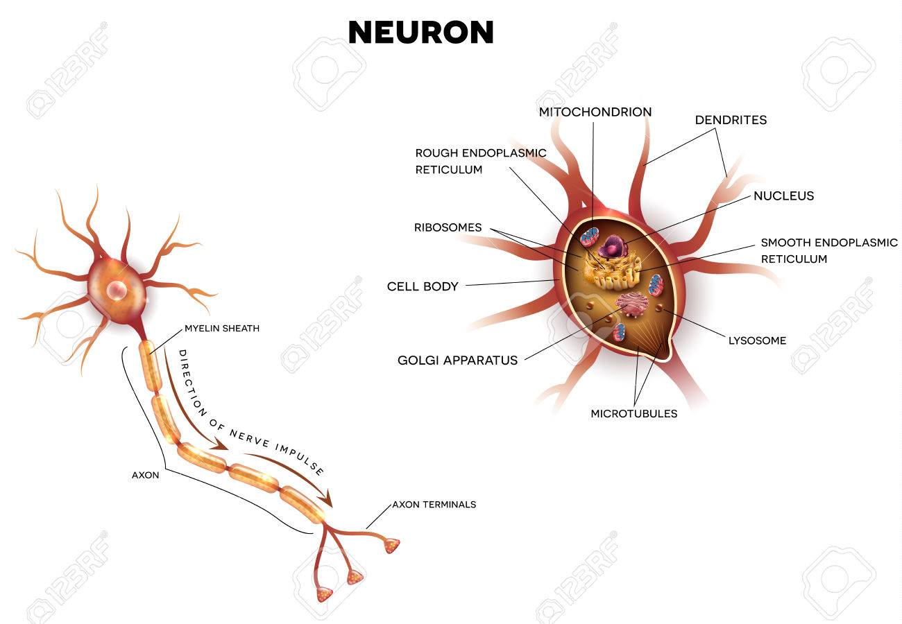 Neuron, Nerve Cell That Is The Main Part Of The Nervous System ...