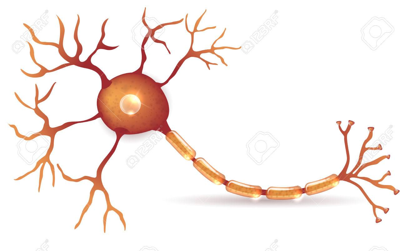 Nerve Cell Anatomy Detailed Illustration Royalty Free Cliparts