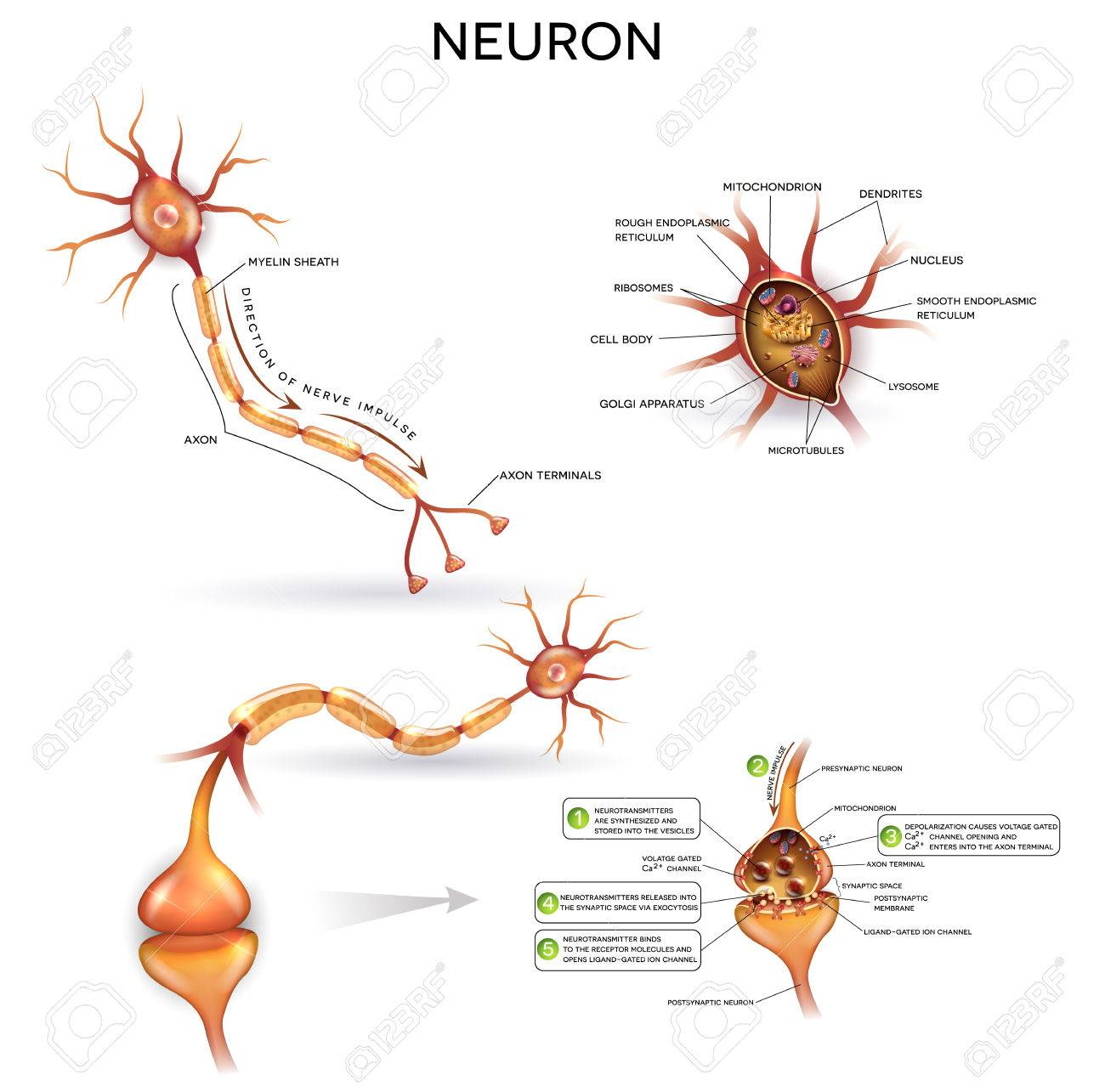 Neuron Nerve Cell Close Up Illustrations Set Synapse Detailed