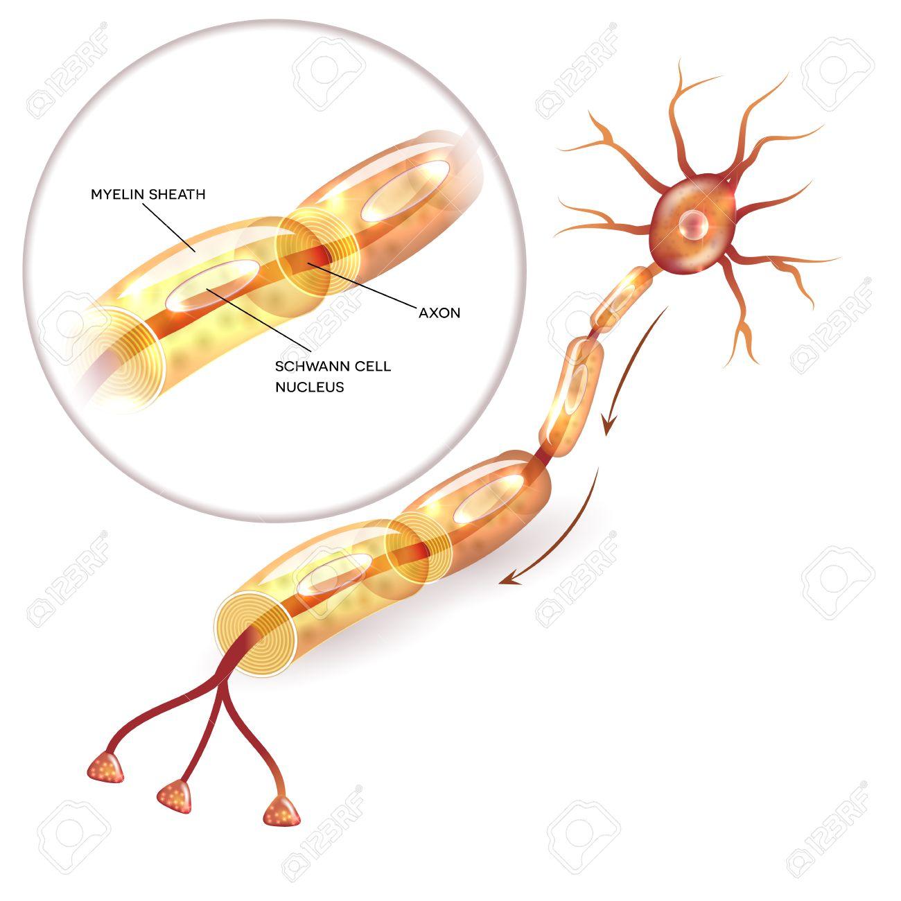 Neuron, Nervenzelle Axon Und Myelin Hülle Substanz, Die Das Axon ...