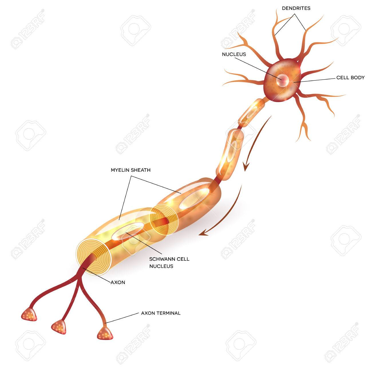 Neuron, Nerve Cell Axon And Myelin Sheath Substance That Surrounds ...