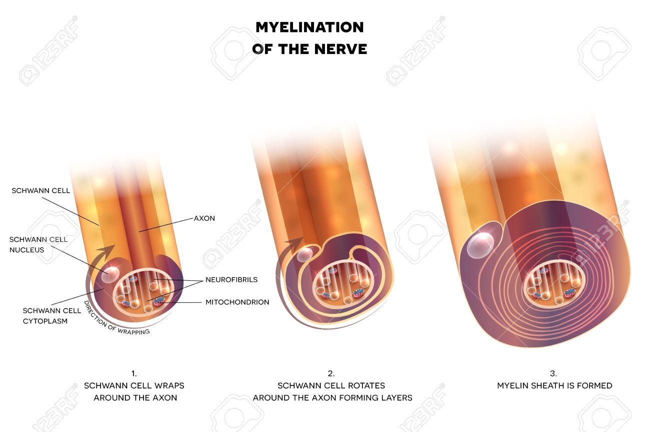 Myelination Of Nerve Cell. Myelin Sheath Surrounds The Axon Close-up ...
