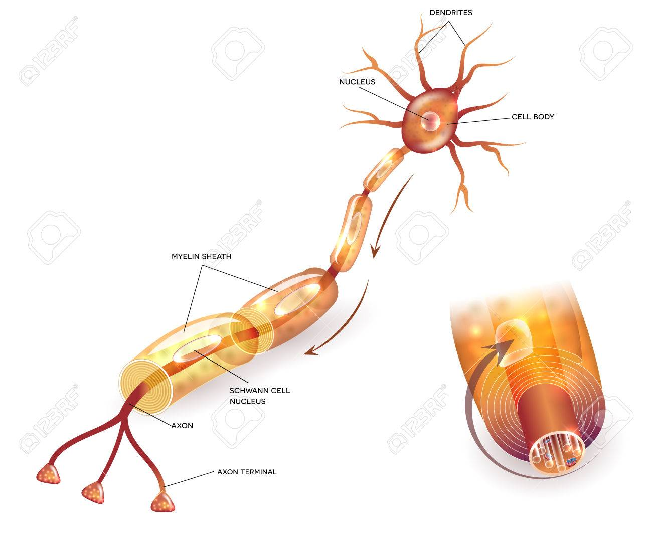 Mielinización De Células Nerviosas. Envoltura De Mielina Rodea El ...