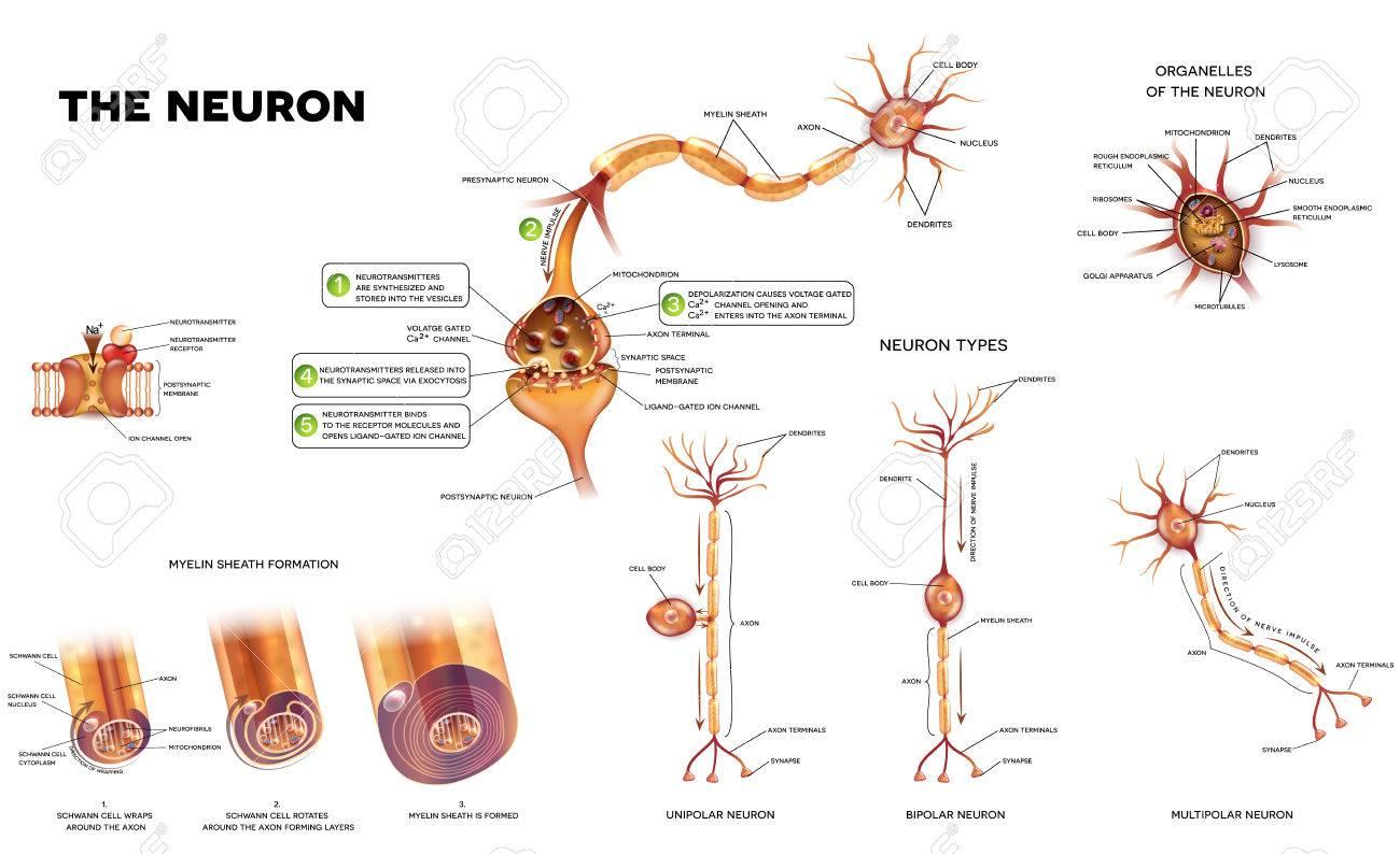Neuron Detailed Anatomy Illustrations. Neuron Types, Myelin Sheath ...