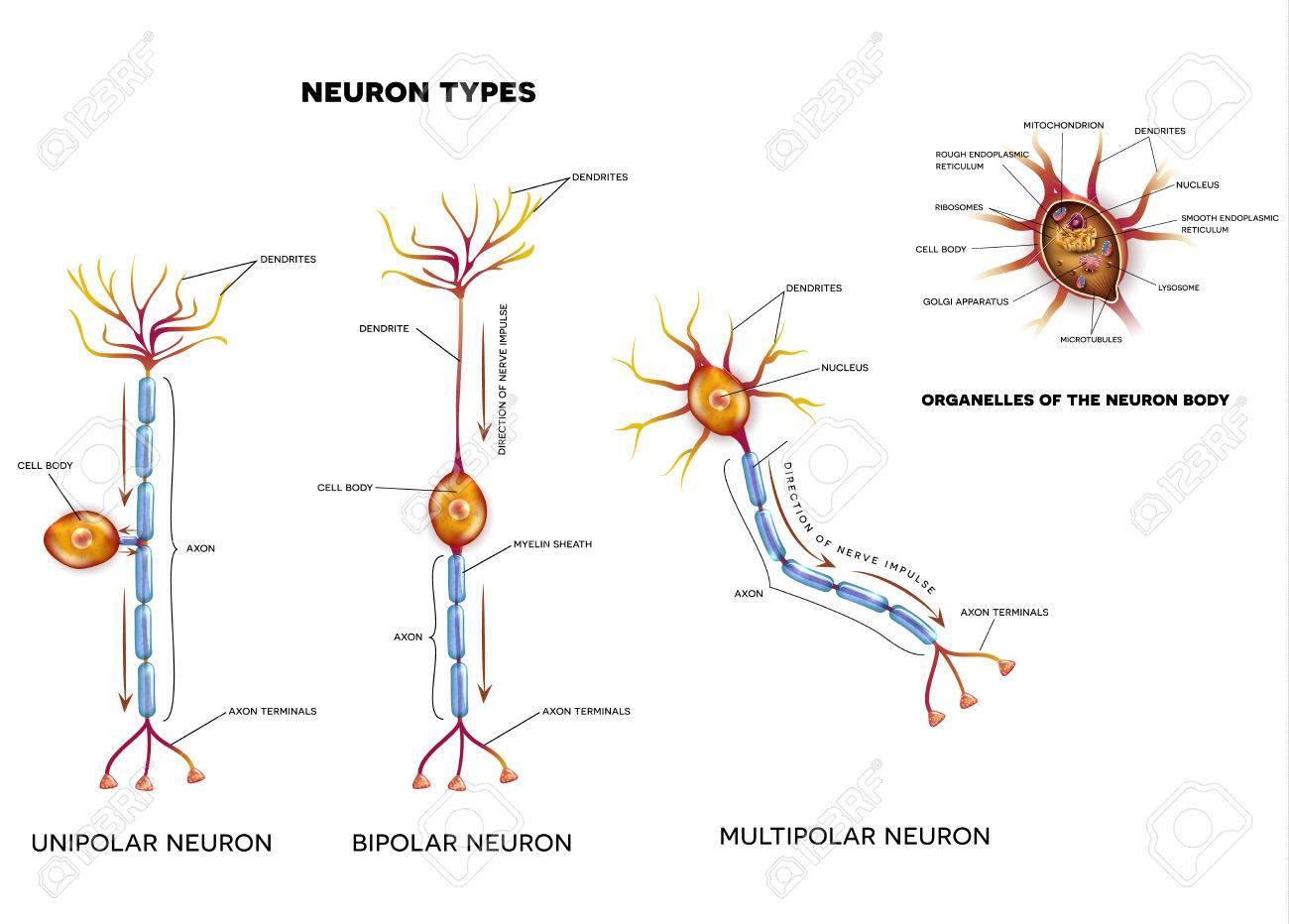 Nervenzelle Arten Und Organellen Des Zellkörpers Close-up ...