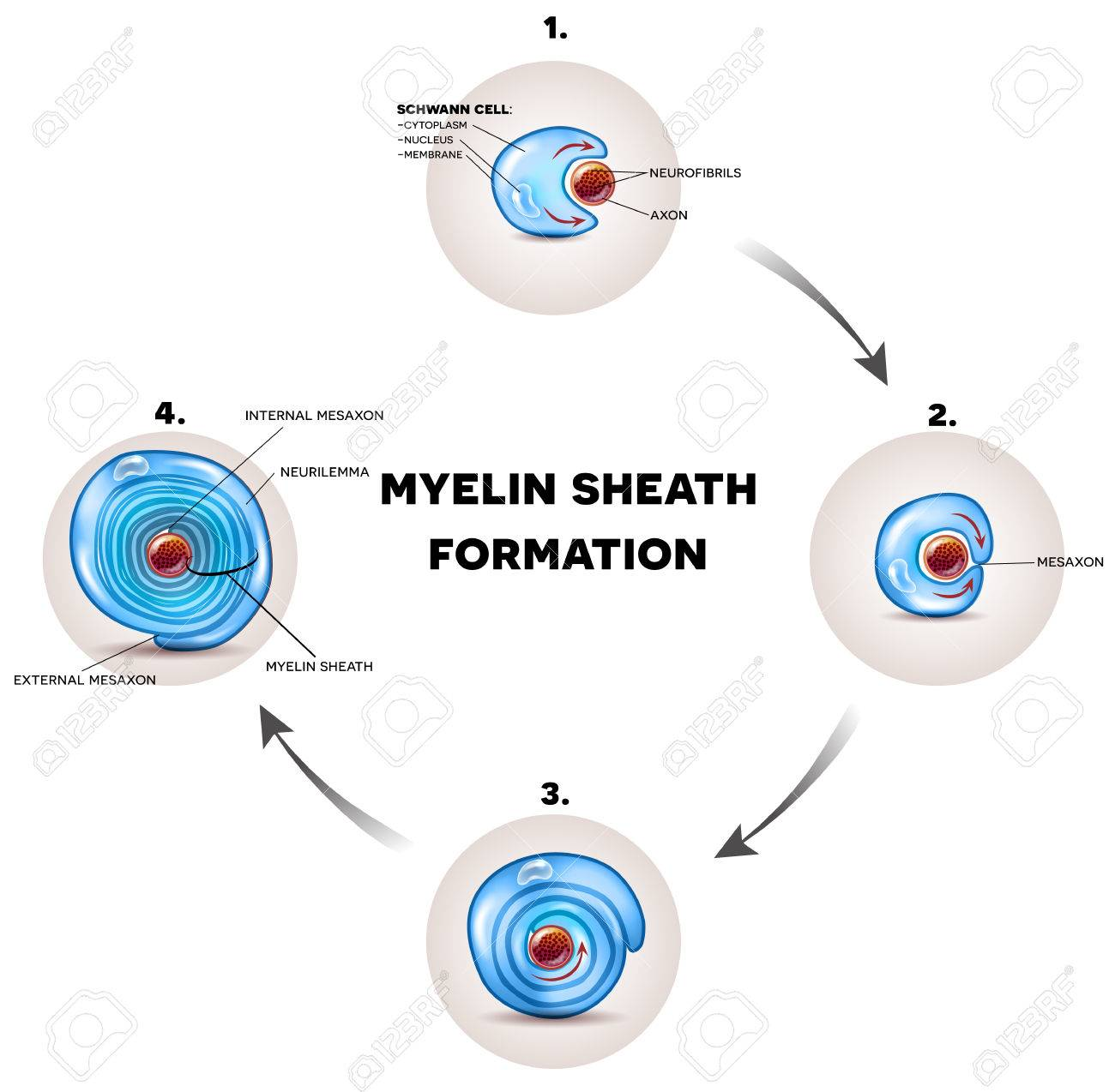 Myelin sheath formation detailed illustration it surrounds the myelin sheath formation detailed illustration it surrounds the axon of nerve cell forming fatty ccuart Image collections