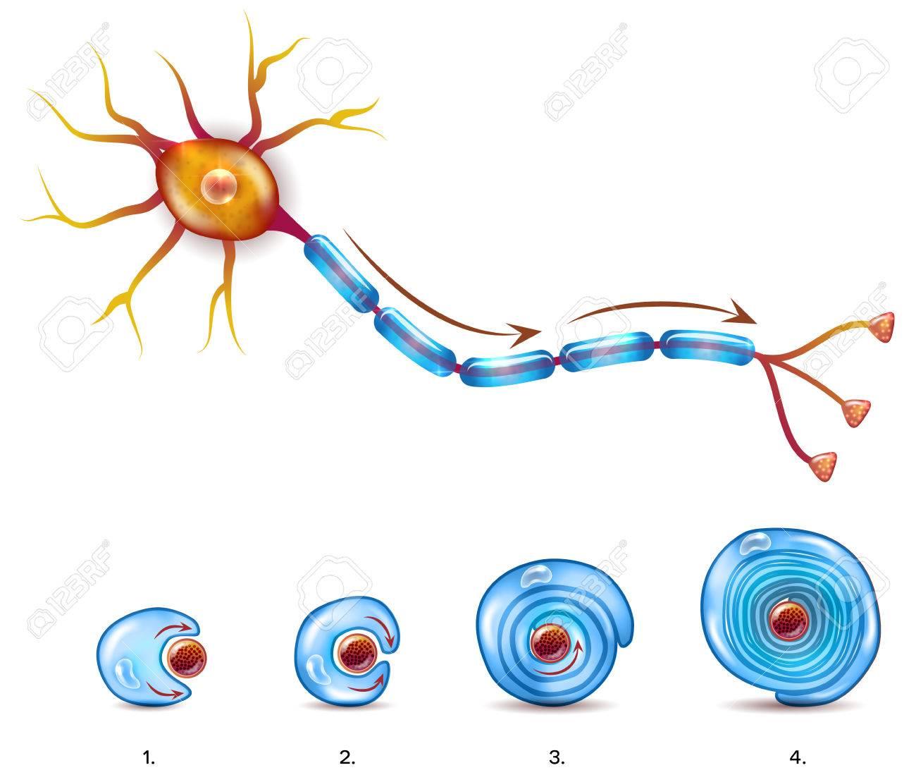 Neuron Anatomy And Myelin Sheath Formation Around Axon Royalty Free ...