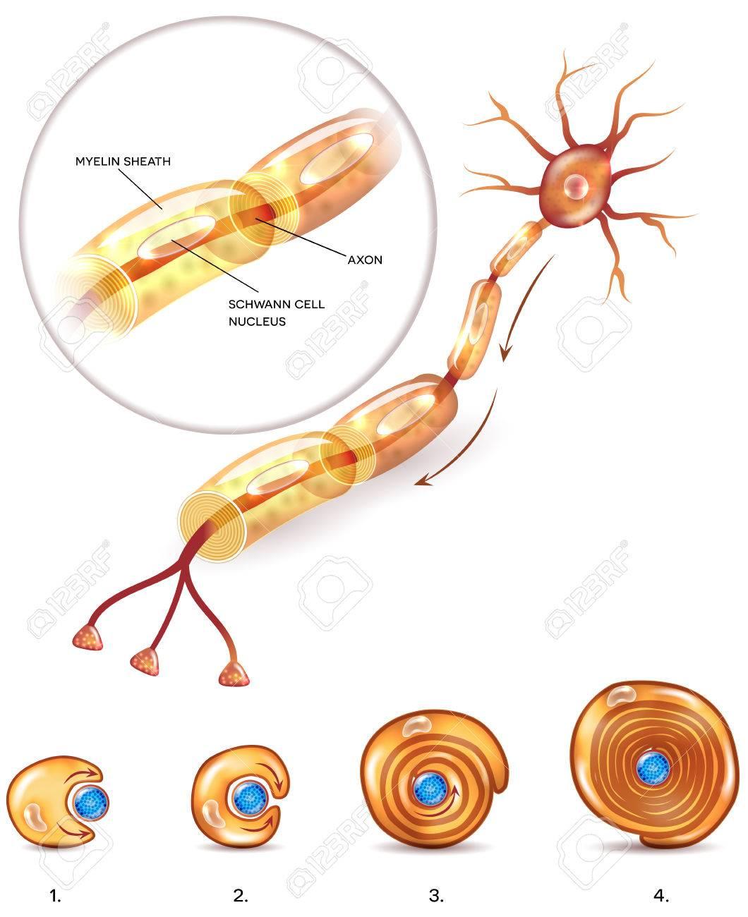 Neuron anatomy 3d illustration close up and myelin sheath formation around axon - 83768178