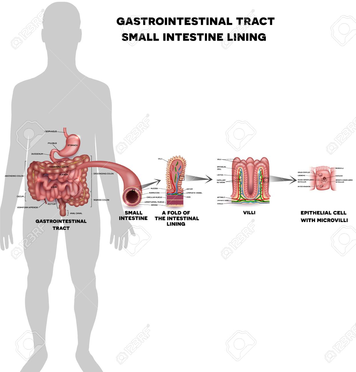 Small intestine lining anatomy, a fold of the intestinal lining, villi and epithelial cell with microvilli detailed illustrations. - 90221333