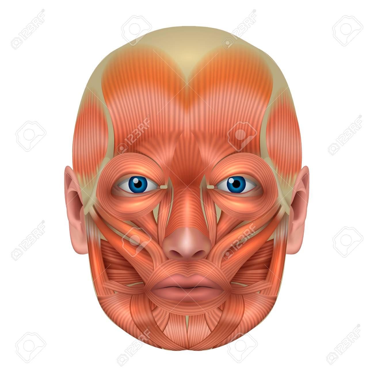 Muscles Of The Face Detailed Bright Anatomy Isolated On A White ...