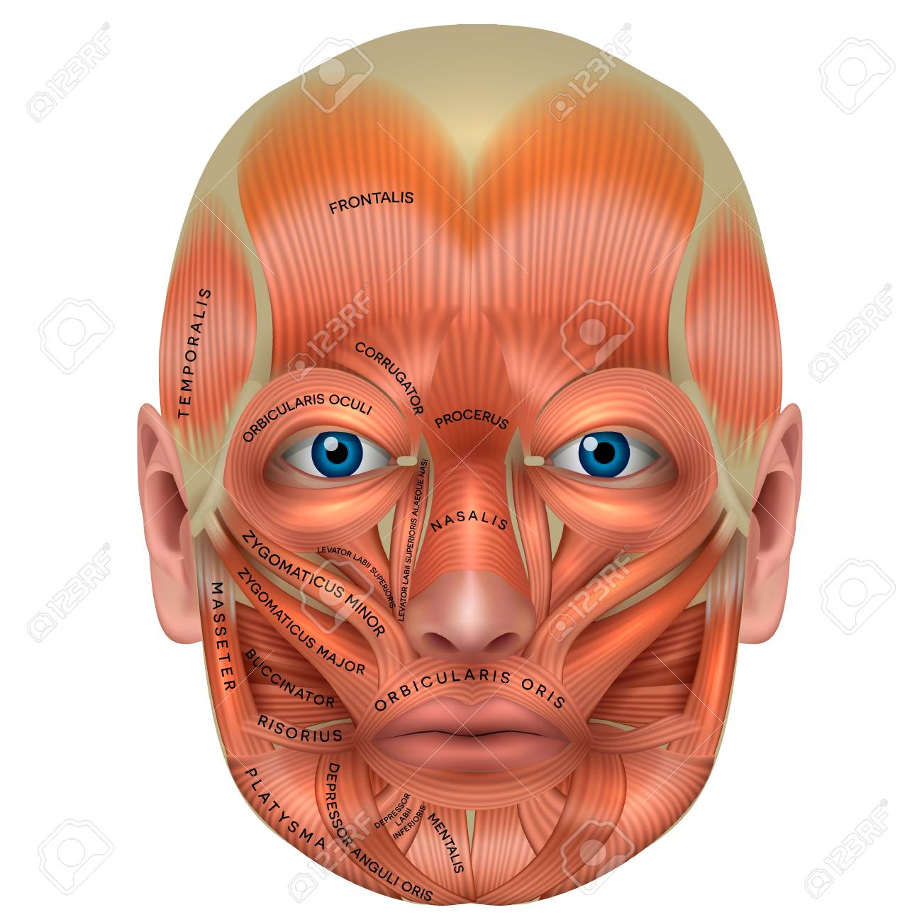 Muscles Of The Face And The Name Of Each Muscle Detailed Bright
