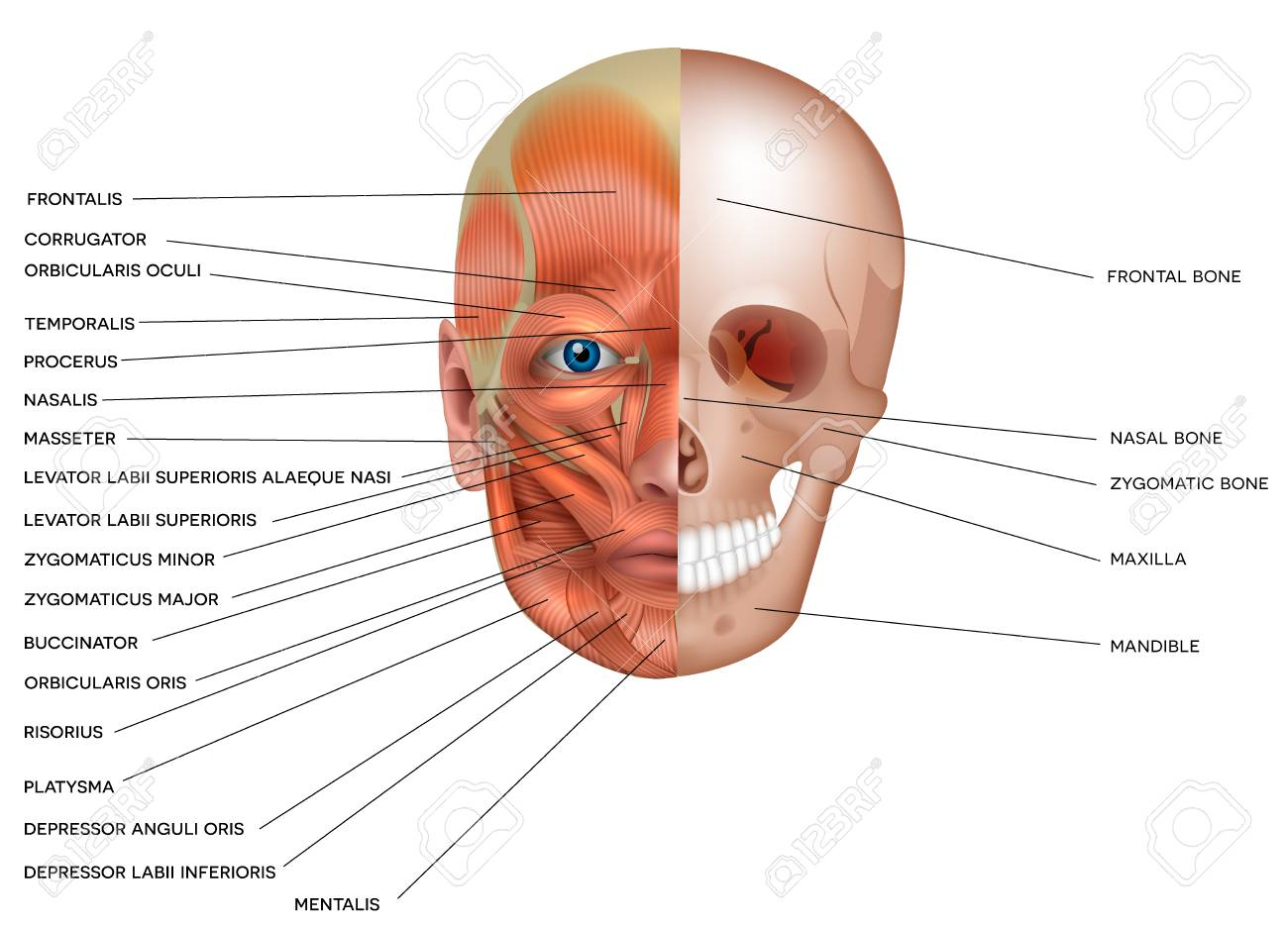 Muscles and bones of the face detailed bright anatomy isolated on a white background. - 93657354