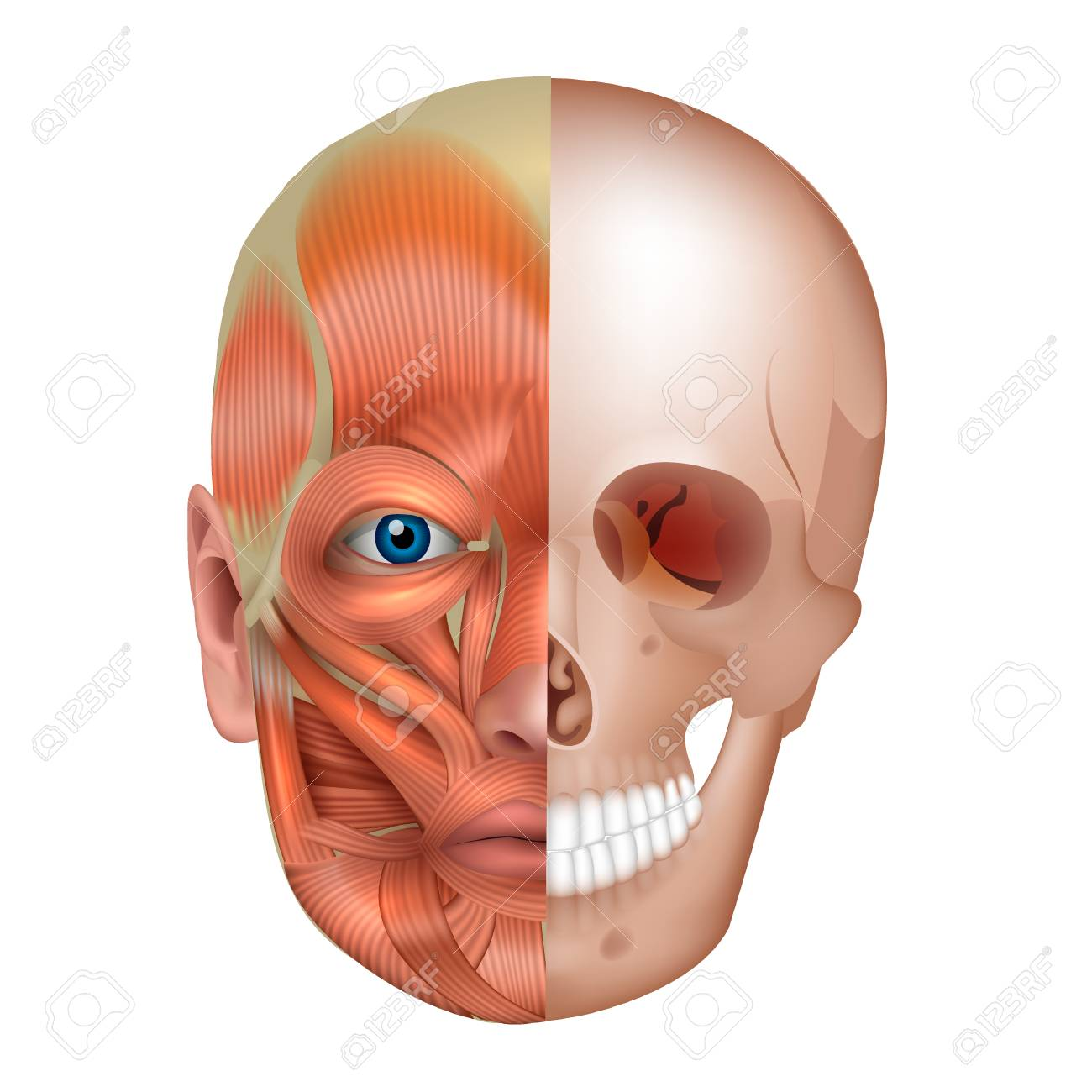 Muscles And Bones Of The Face Detailed Bright Anatomy Isolated
