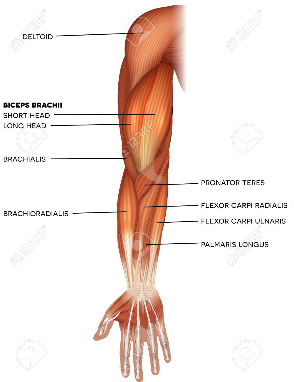 Muscles of the hand and arm beautiful bright illustration on a white background - 114773268
