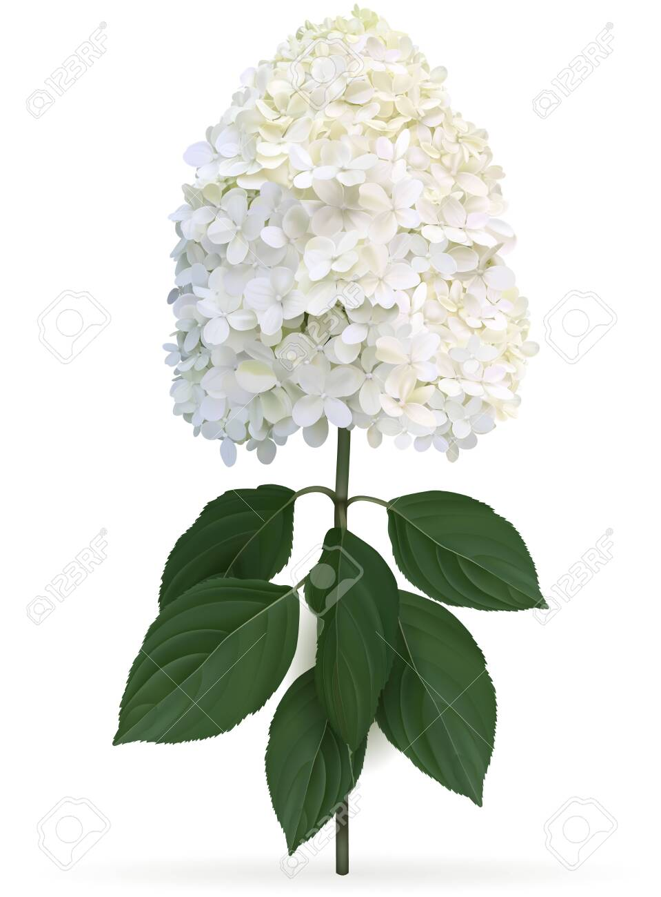 Hydrangea paniculata Limelight in late summer, high quality detailed illustration on a white background. This sort is winter hardy and change color from lime green to creamy white in late summer - 131788434