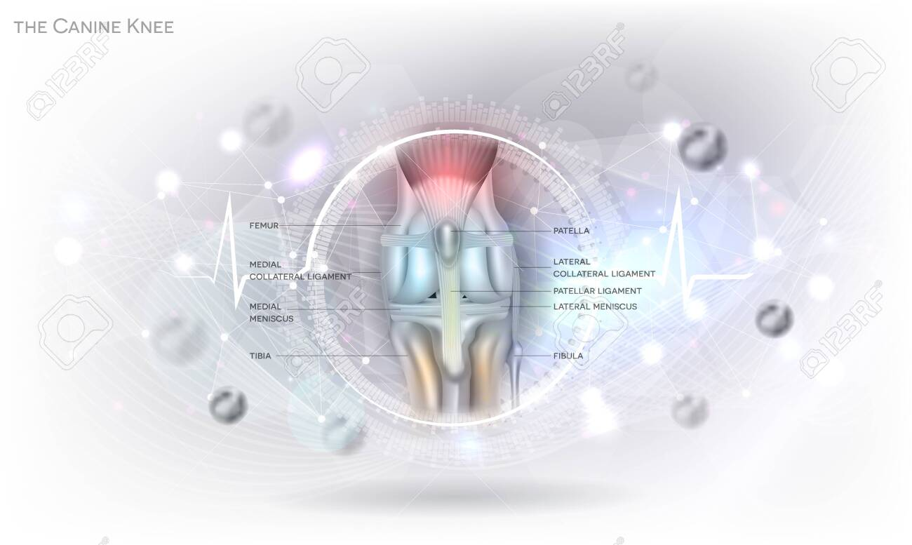 Anatomy of the canine (dog's) knee joint colorful design on an abstract glowing light grey scientific background. - 152481856