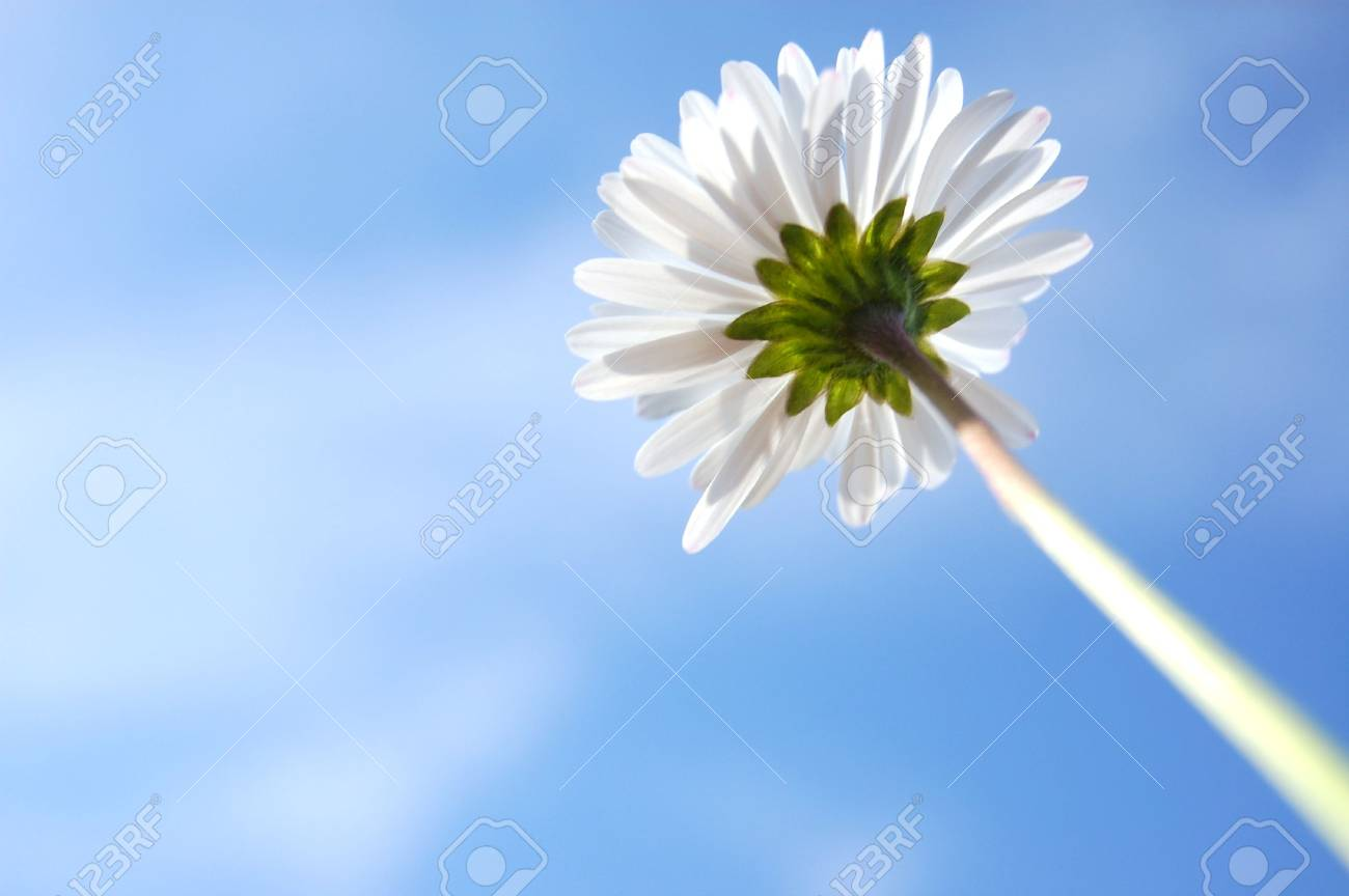 daisy from below under blue sky in summer Stock Photo - 3770501