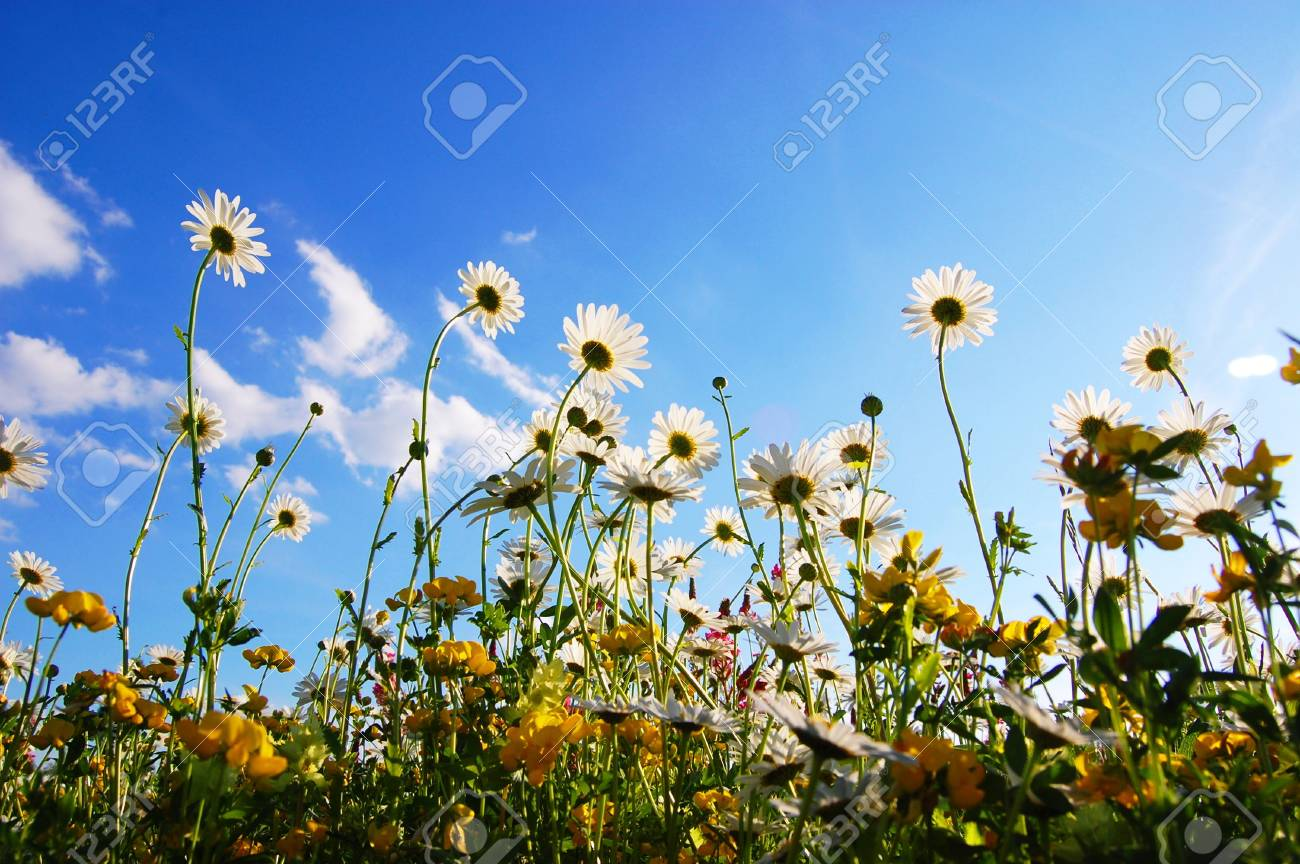 daisy flowers from below with blue sky on sunny summer day Stock Photo - 5466491