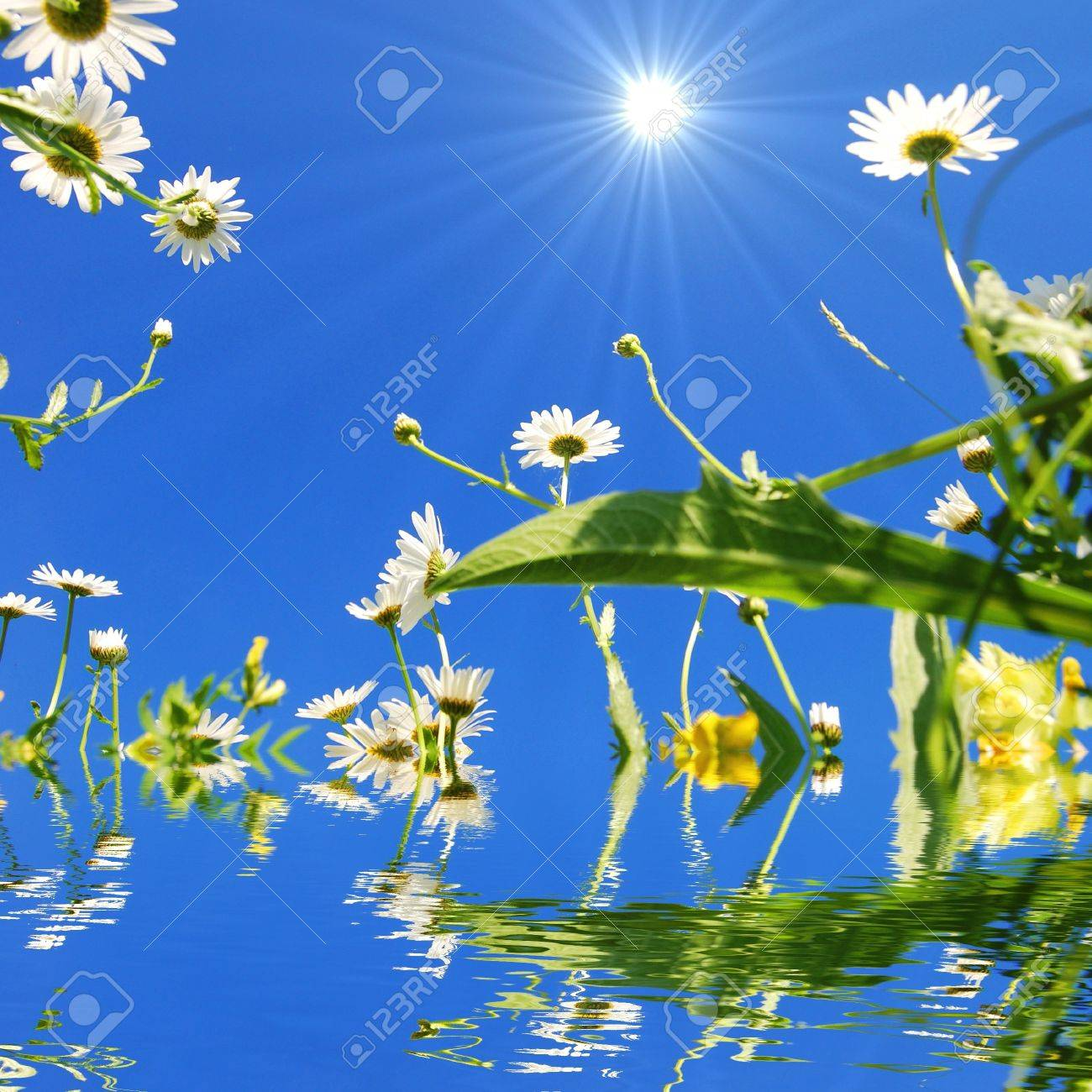 daisy flower and water reflection showing summer concept Stock Photo - 7664104