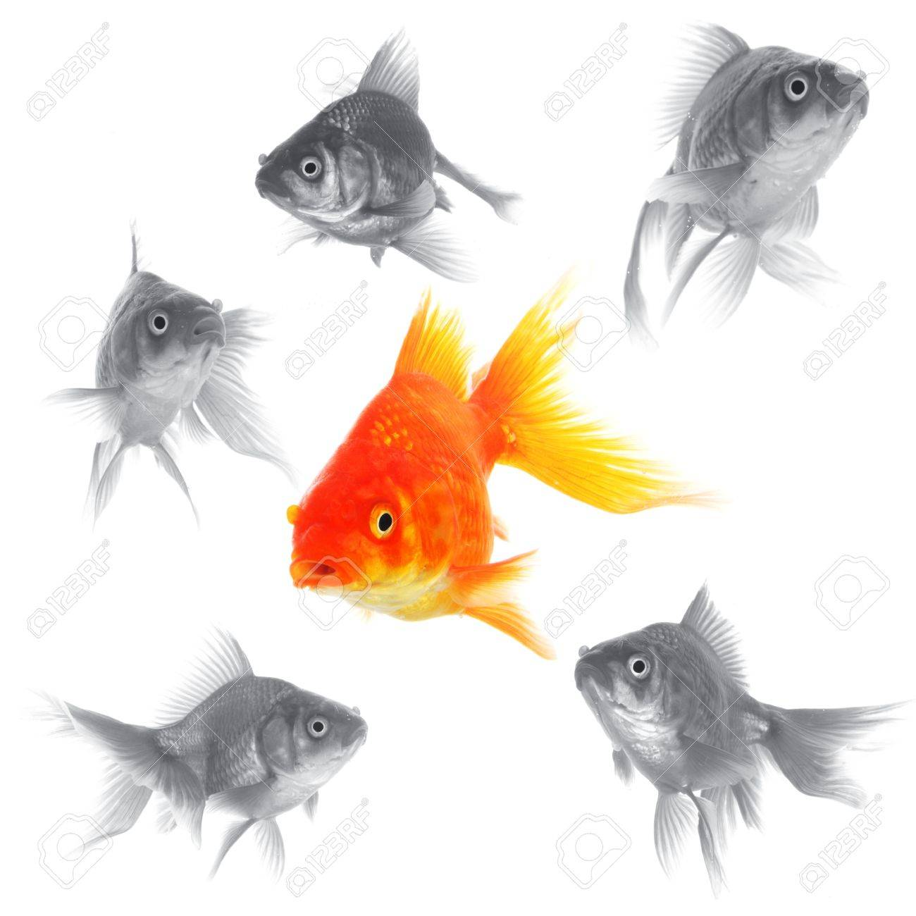 individual success winner outsider boss or motivation concept with goldfish isolated on white Stock Photo - 7795144