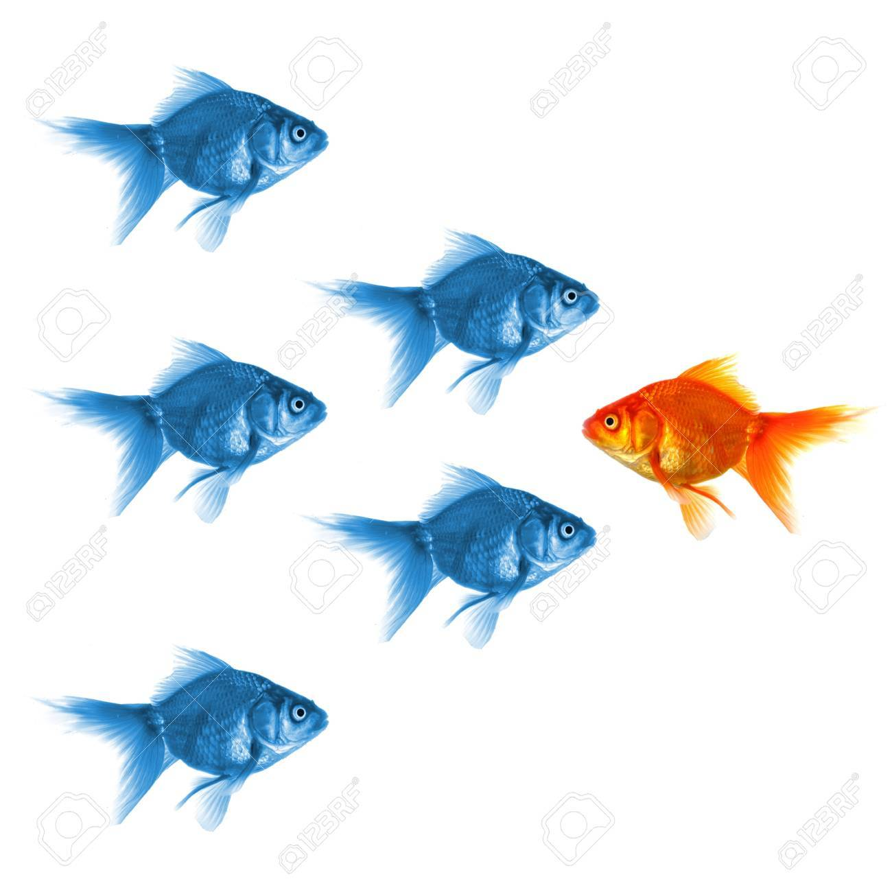 individual success winner outsider boss or motivation concept with goldfish isolated on white Stock Photo - 8067245