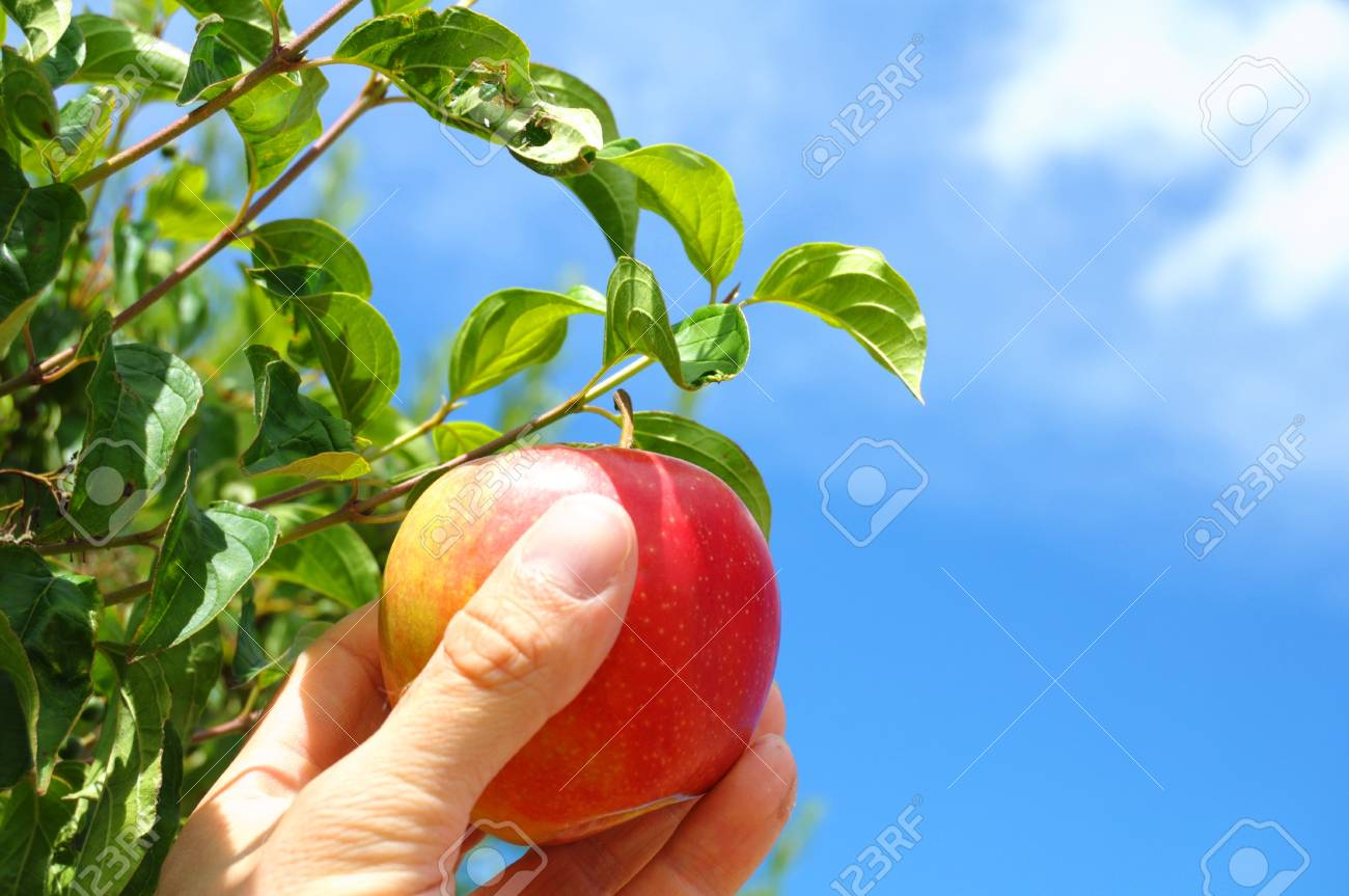 red apple on tree and hand showing healthy food concept Stock Photo - 8424000