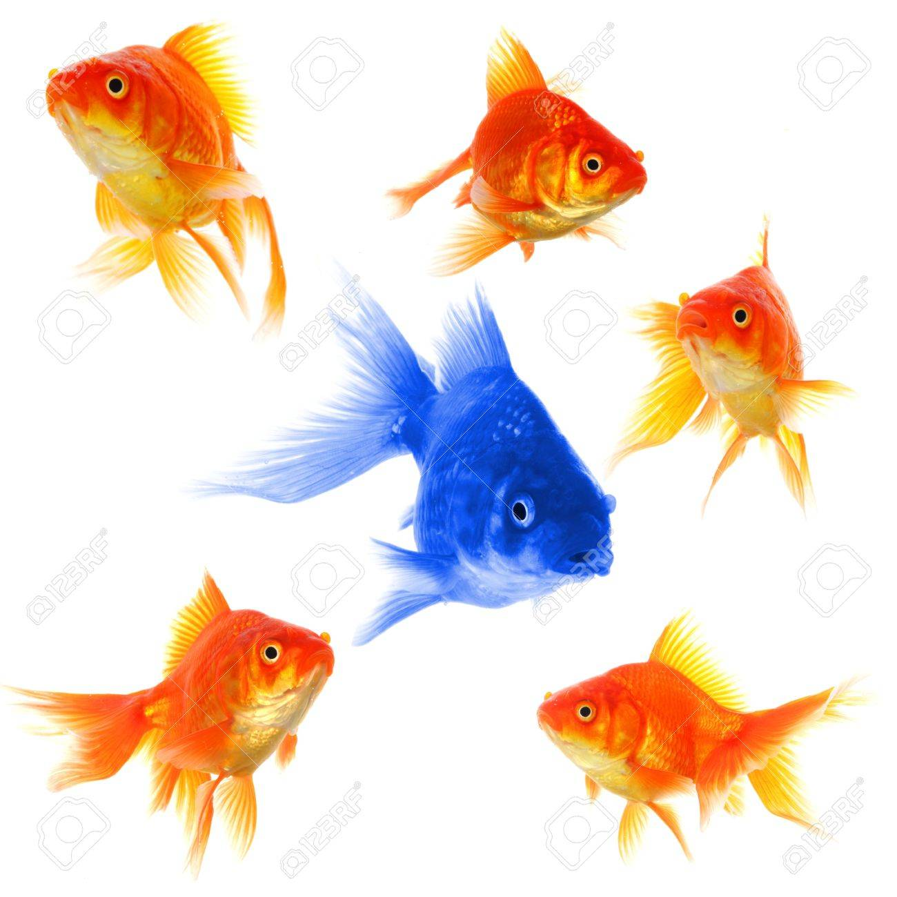 goldfish showing discrimination success individuality leadership or motivation concept Stock Photo - 8469878