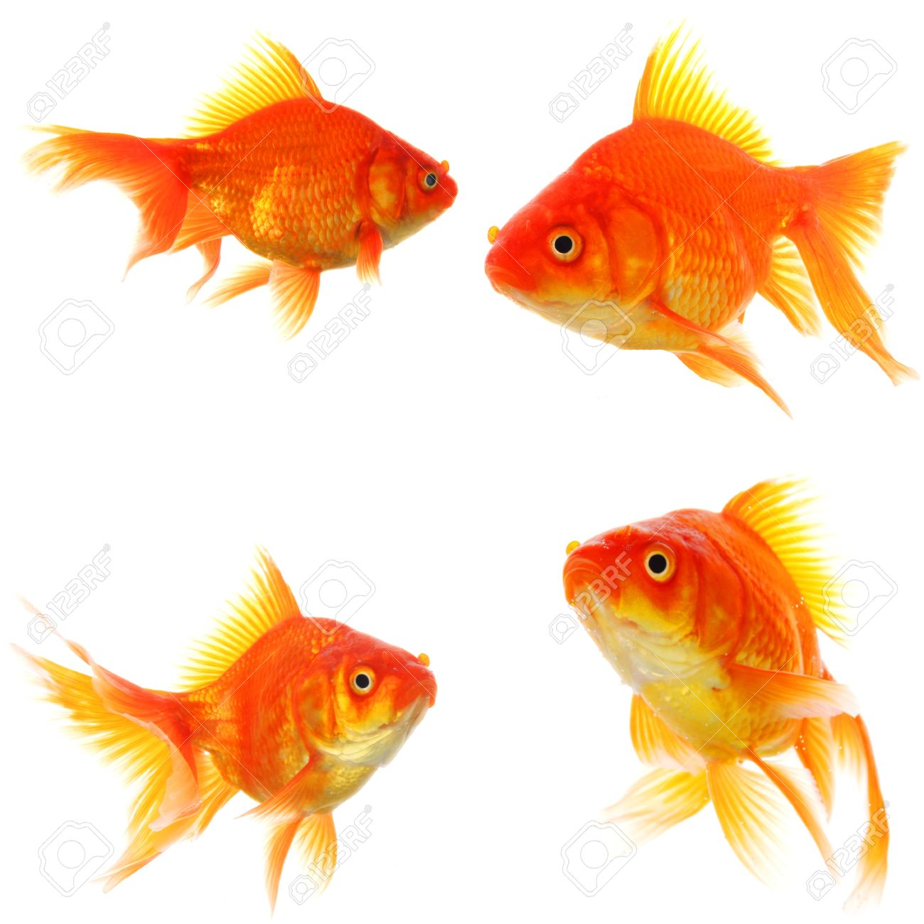 goldfish collection or group or fishes isolated on white background Stock Photo - 9011763