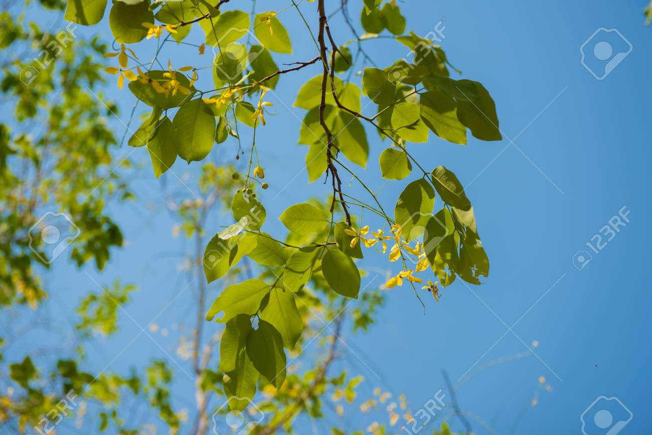 Green Leaves With Small Yellow Flower From Golden Shower Tree