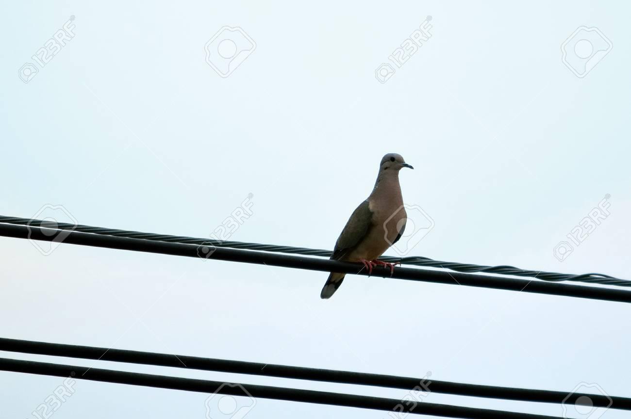 Grey bird (Columbine) on a wire with sky background - 68623512