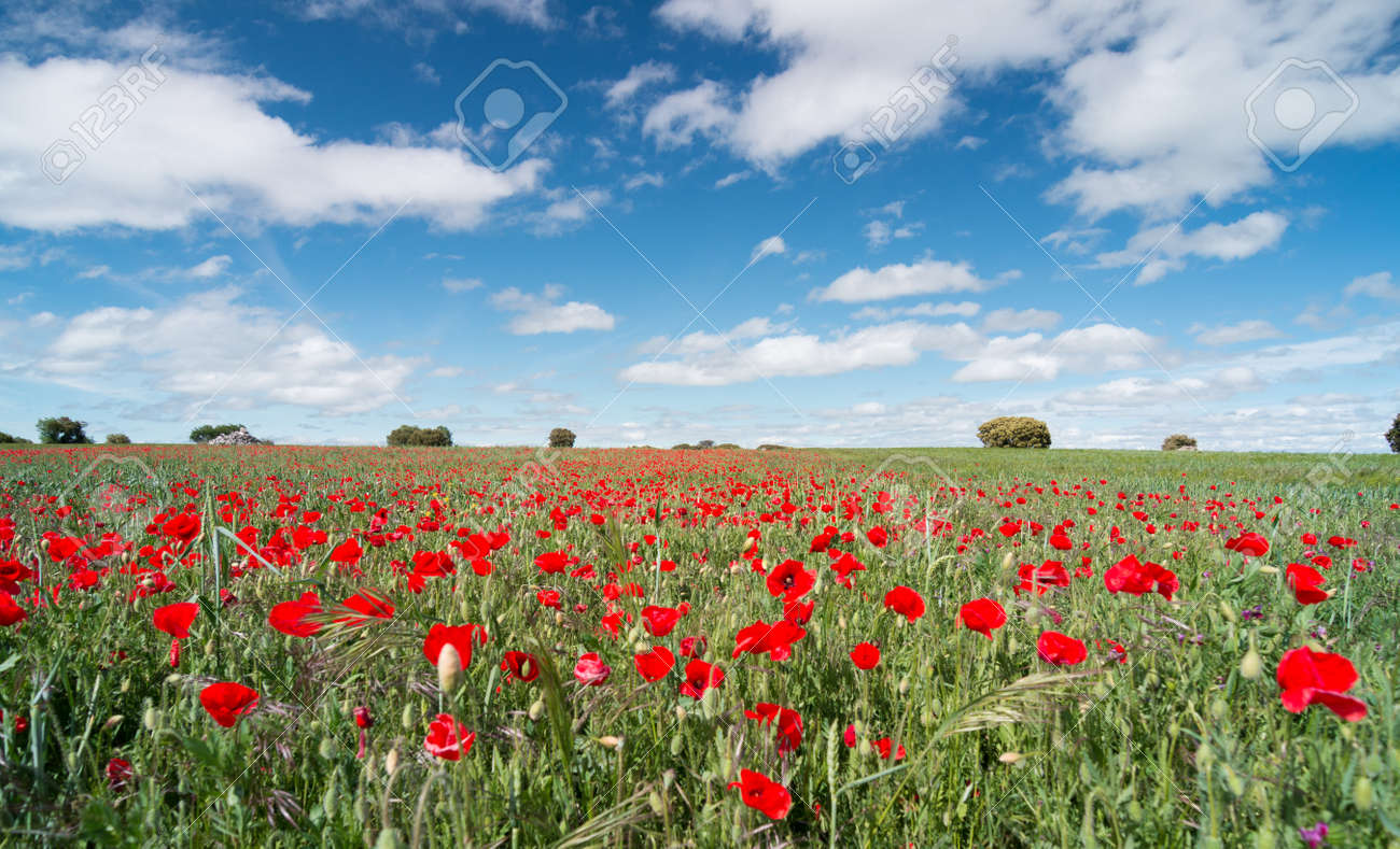 Beautiful red poppy flowers in a field with a blue sky - 125789655