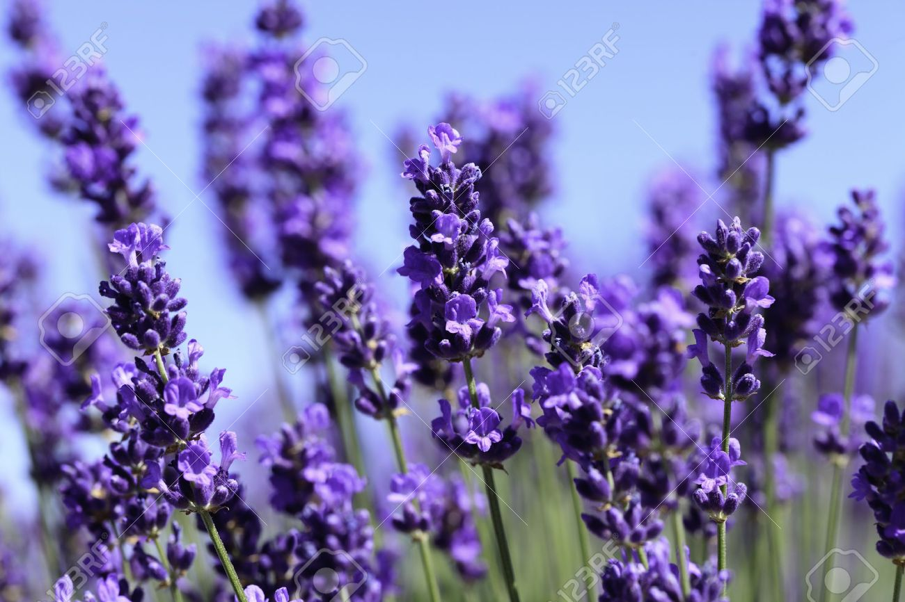lavender flowers images  stock pictures. royalty free lavender, Beautiful flower