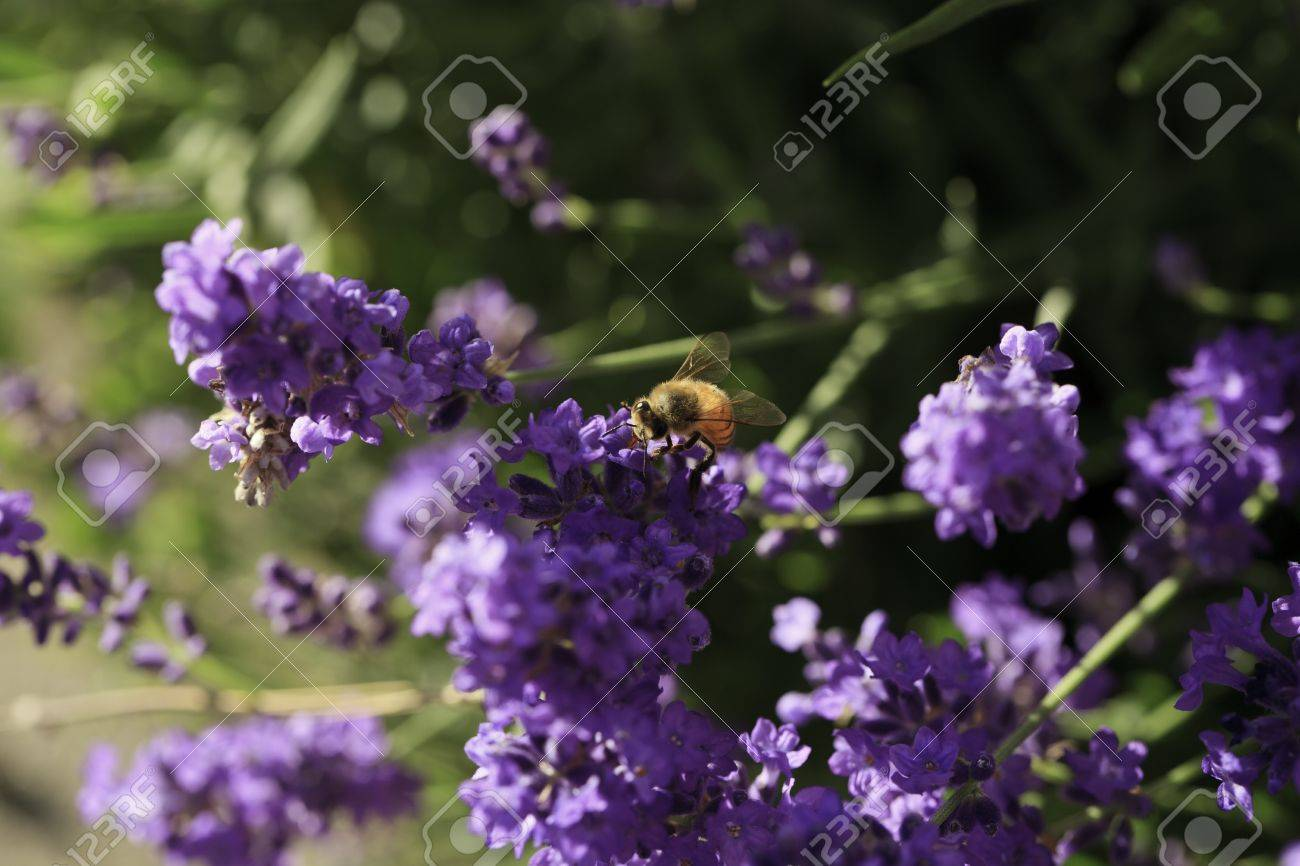 Close-up of a Honey bee landing on a Lavender flower Stock Photo - 10292800