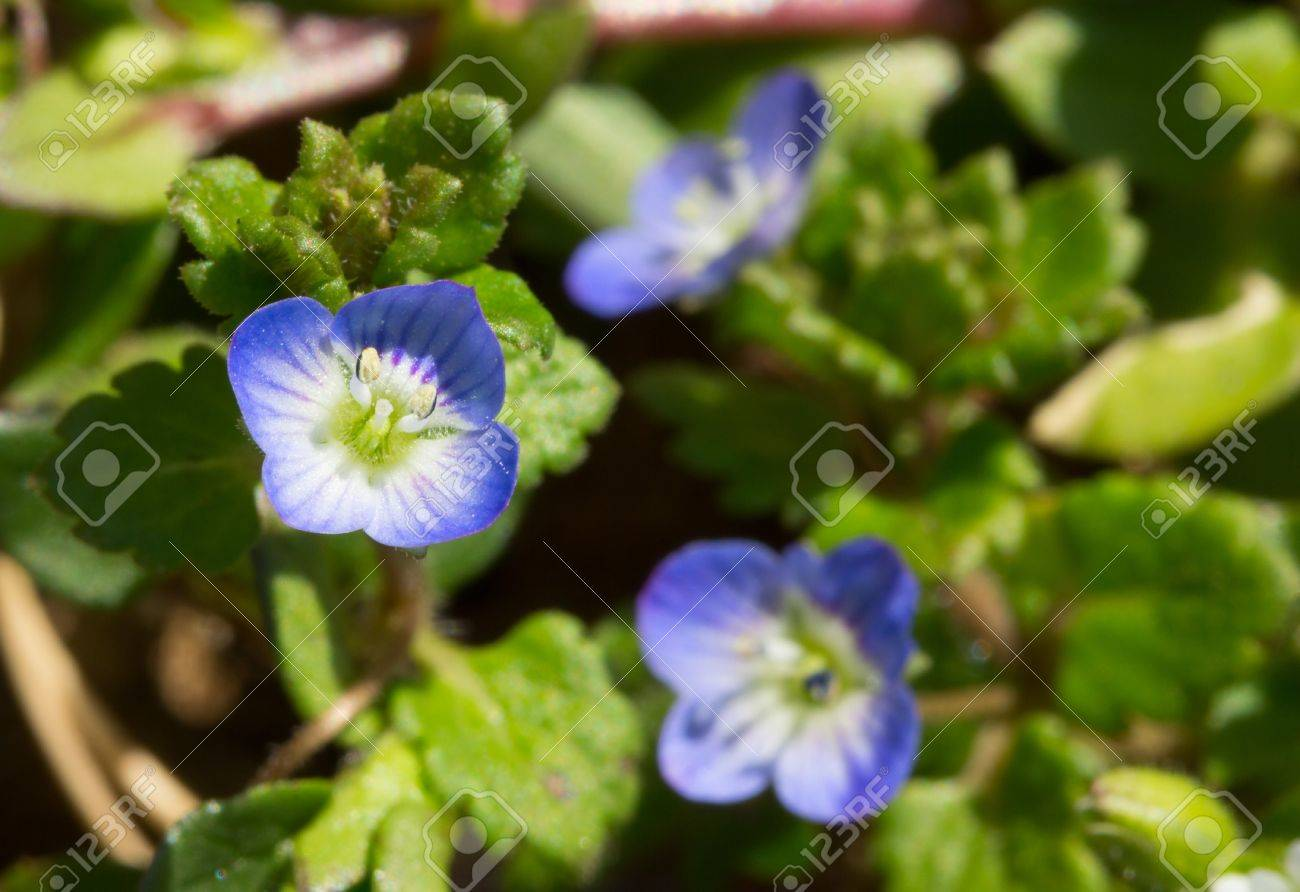 Flowering In Spring With Small Blue Flowers Annual Herb Persian