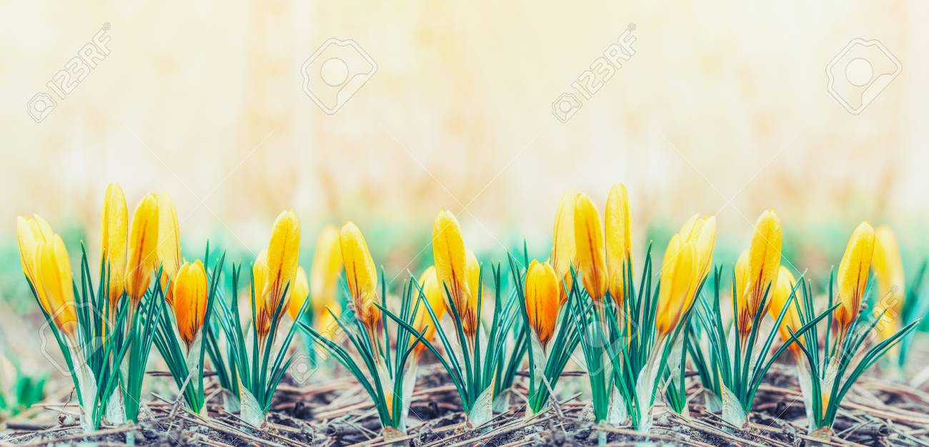 Panoramic Photo With Beautiful Early Spring Yellow Flowers Crocuses