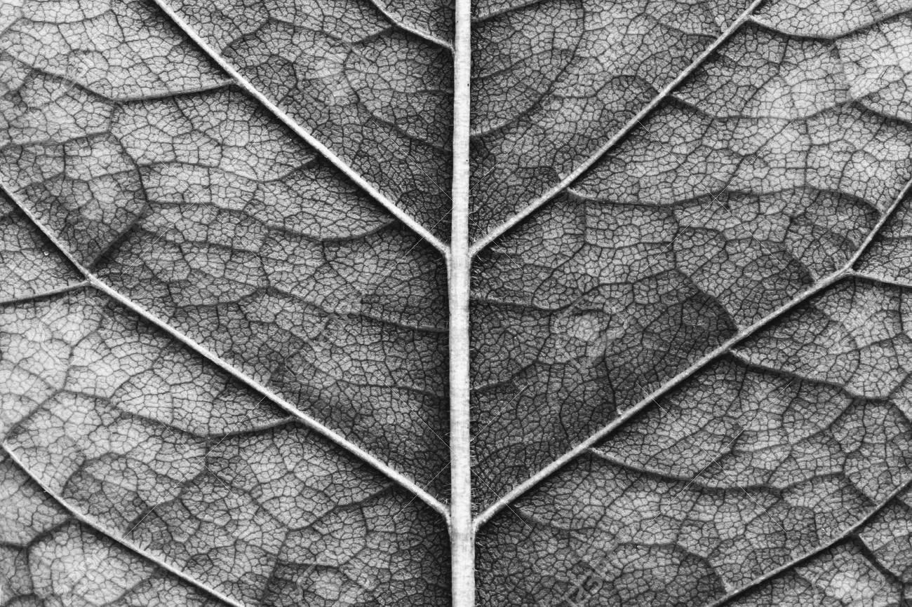 Close up of macro texture of leaf black and white photo stock photo