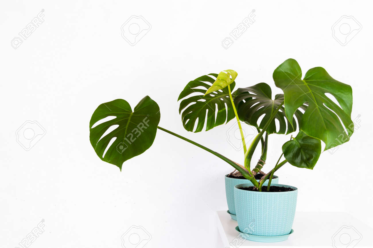 green tropical monstera plant in a flower pot on a table against a white wall - 165440046