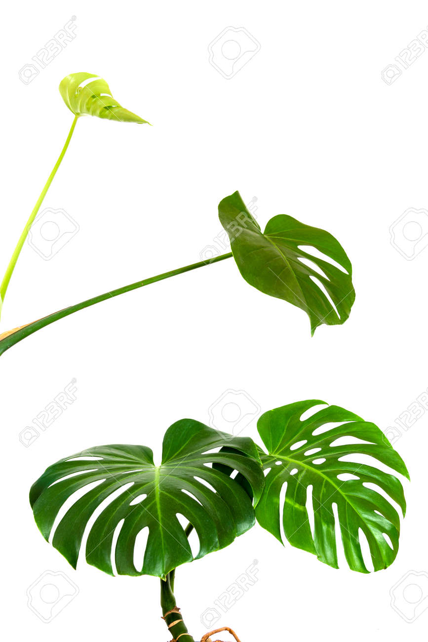 a green leaves and a young sprout of a tropical monstera plant isolated on a white background - 165439933