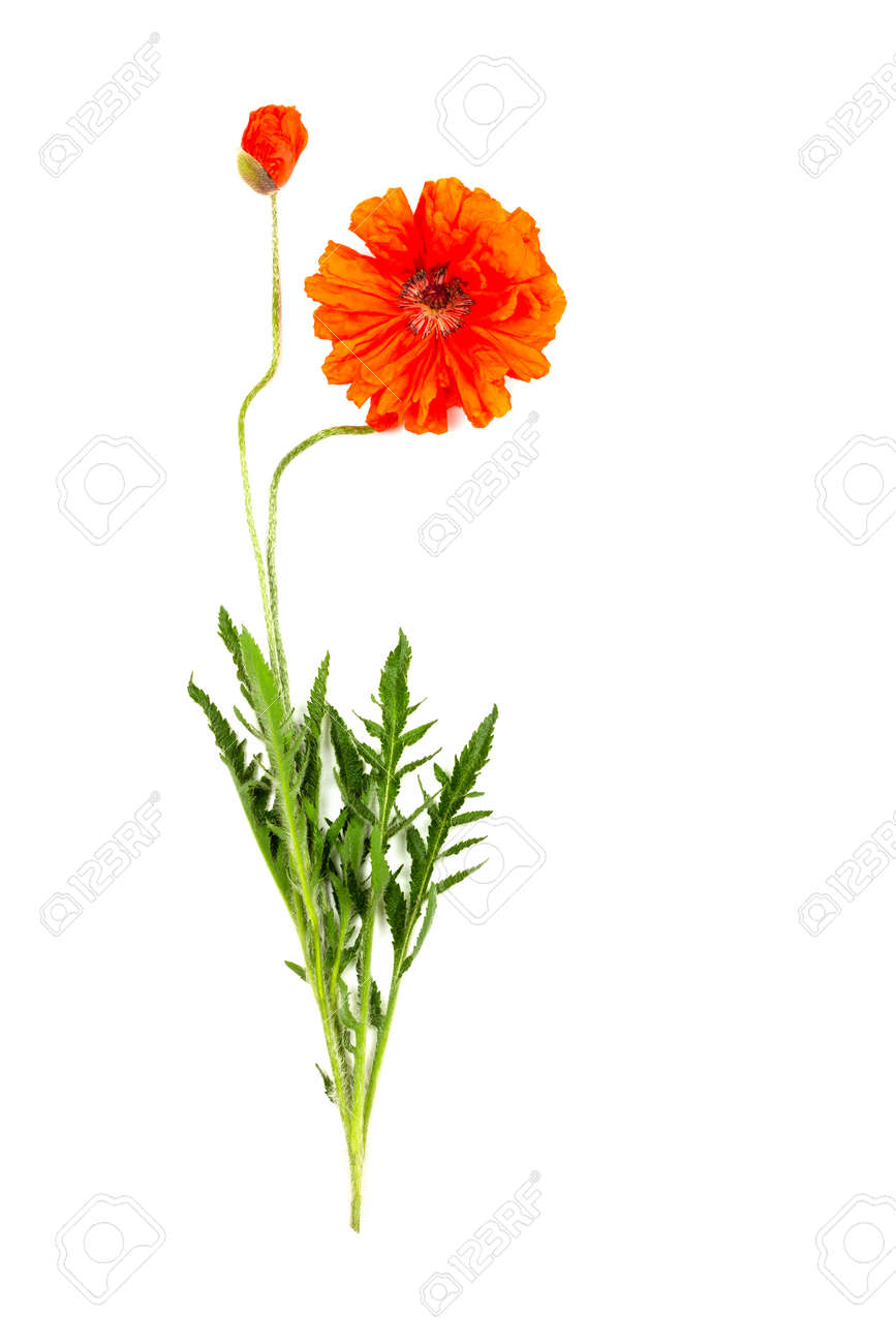 two red poppy flowers isolated on a white background - 165439677