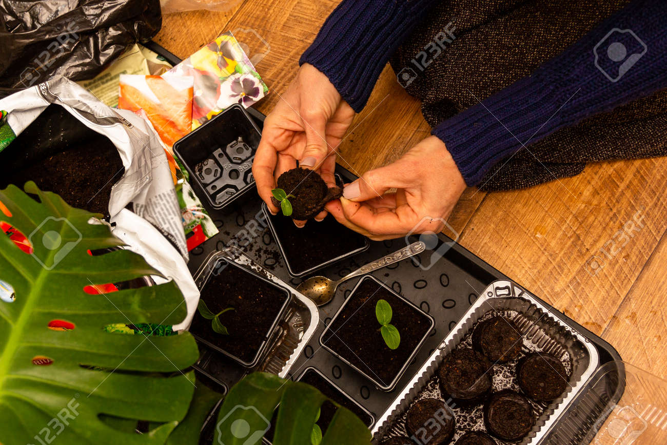 female hands plant seedlings of cucumbers in peat tablets in plastic pots with soil - 165573729