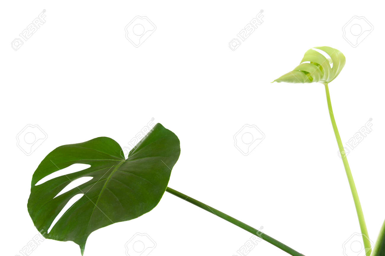 a green leaf and a young sprout of a tropical monstera plant isolated on a white background with a copy space - 165440104