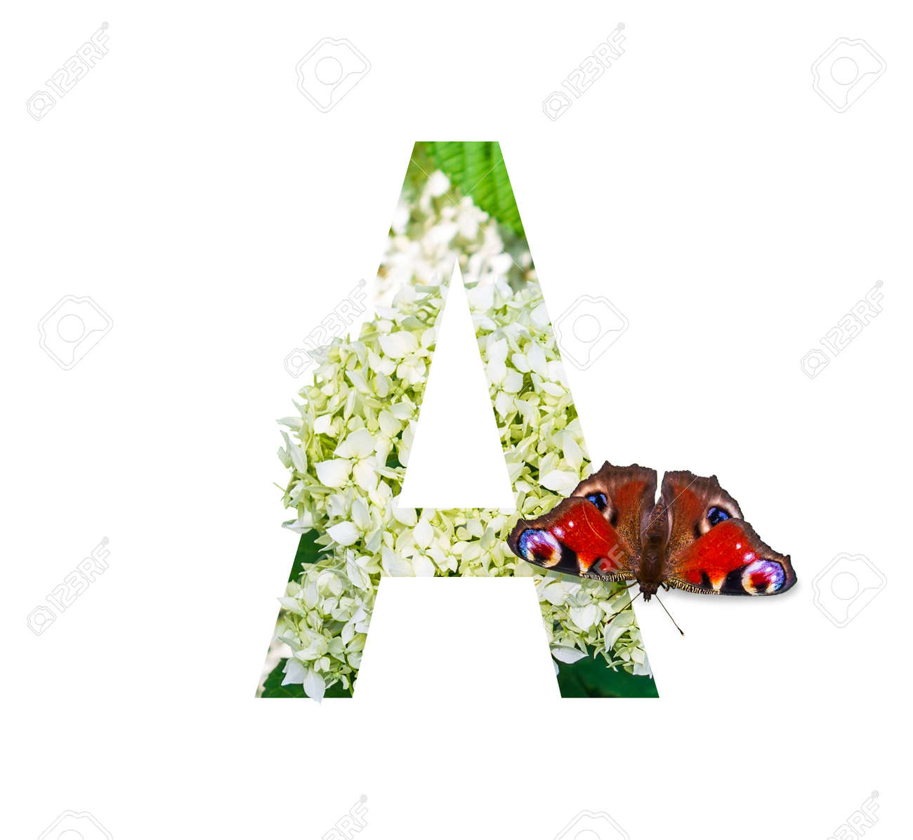 letter A of the floral alphabet with a peacock eye butterfly on a blooming white hydrangea isolated on a white background - 165573733