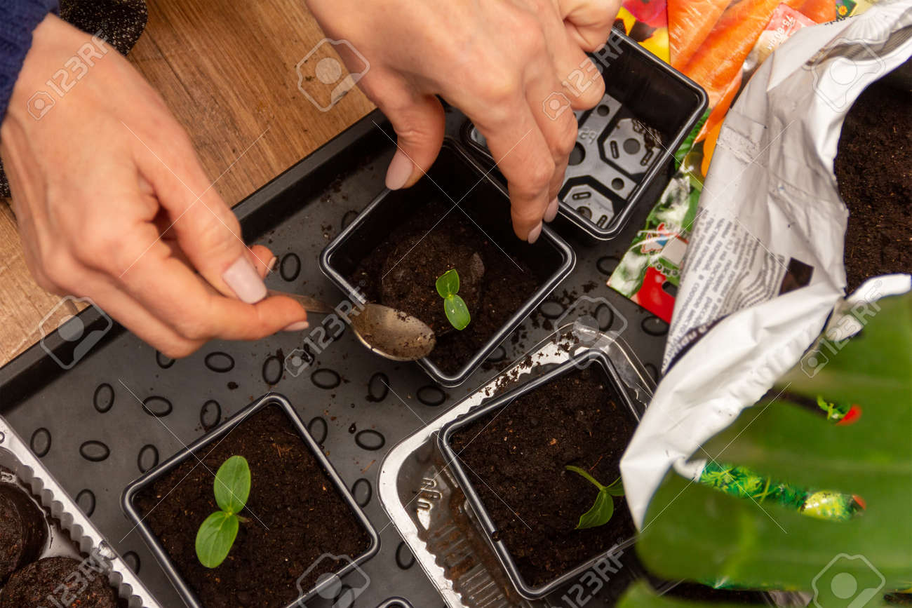 women's hands transplant cucumber seedlings in peat tablets into plastic pots with soil - 165573734